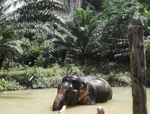Bathing with Somboon our Khao Sok Elephant