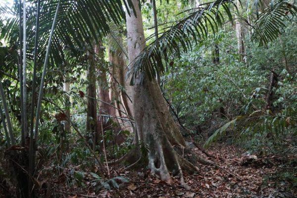 Giant tree on Khao Sok Nature Trail