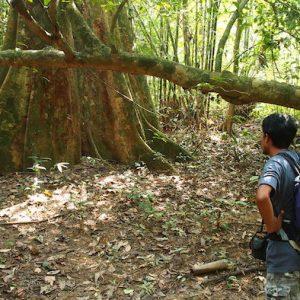 Huge tree Khao Sok Jungle day Trekking