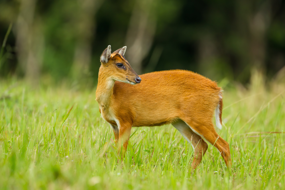 Barking Deer in Khlong Saeng Wildlife Sanctuary