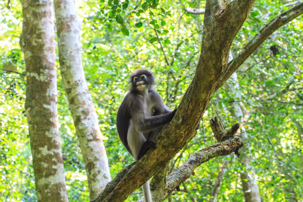 dusky langur in the forest of Khao Sok National Park