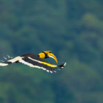 Ferquently asked questions Great Hornbill in flight at Khao Sok National park