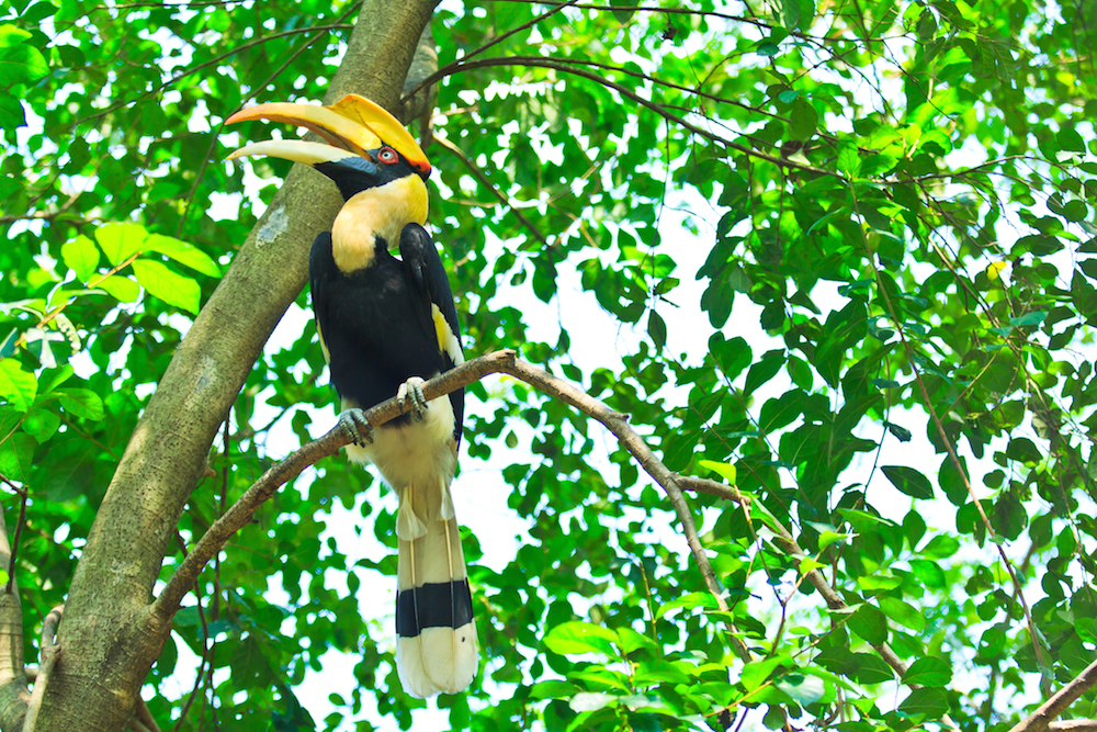 Great Hornbill Khao Sok Birdlife