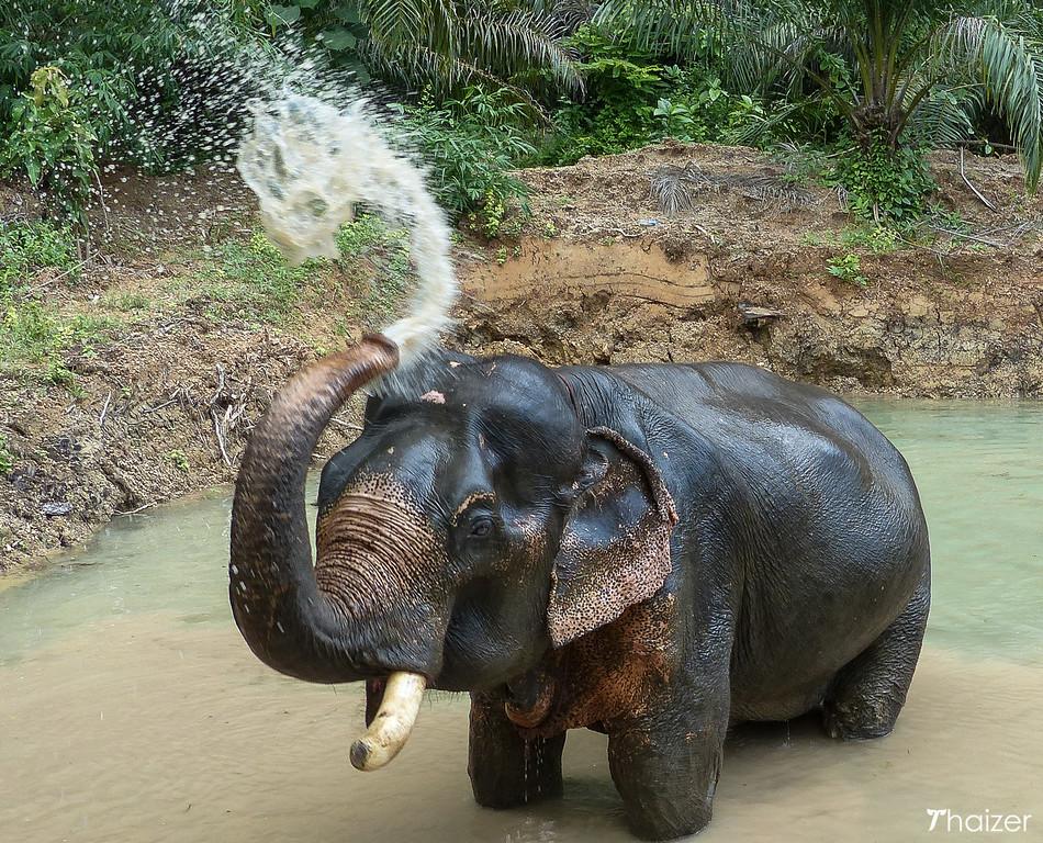 Somboon the elephant