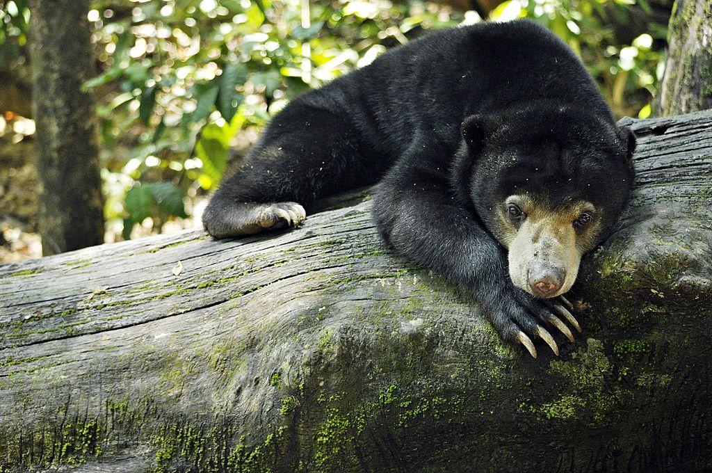 Khao Sok wildlife Malaysian Sun Bear