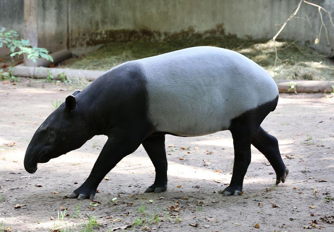 Malayan Tapir in zoo