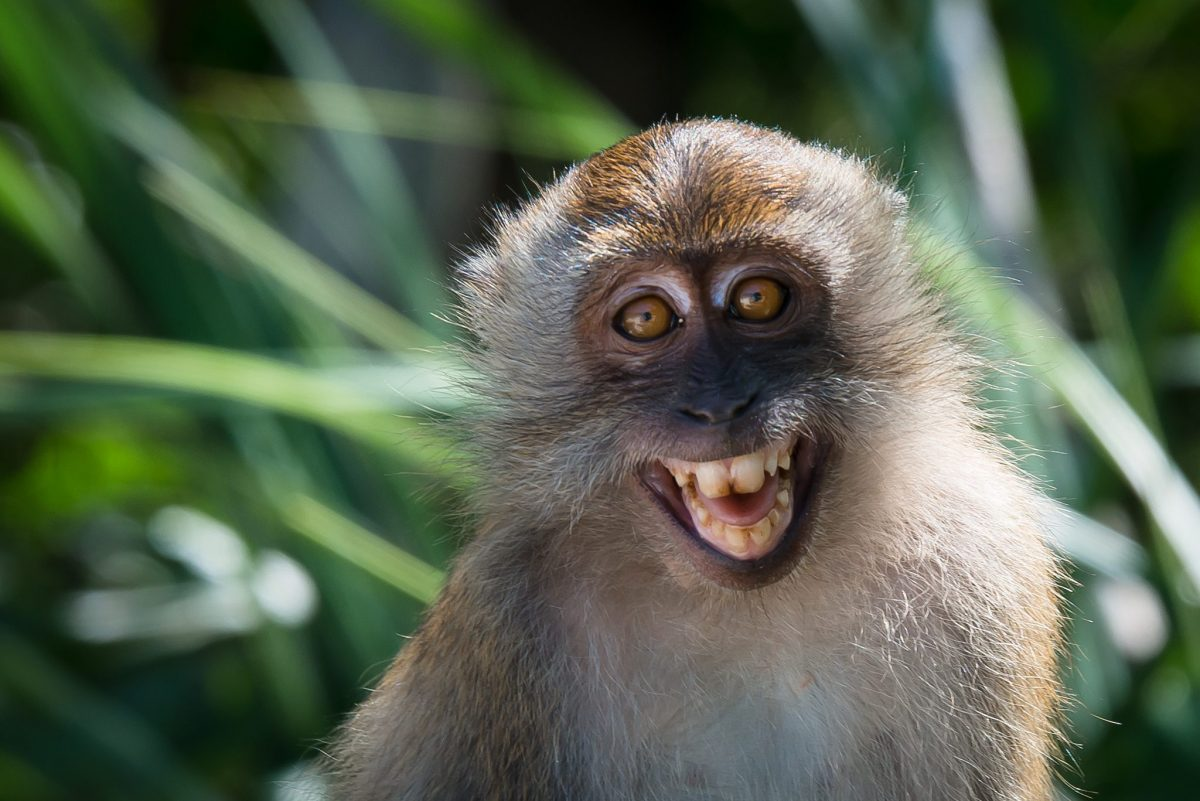 Smiling Crab eating Macaque Khao Sok Wildlife
