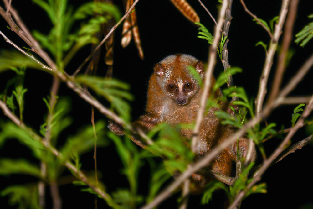 Khao Sok National park Slow Loris at night