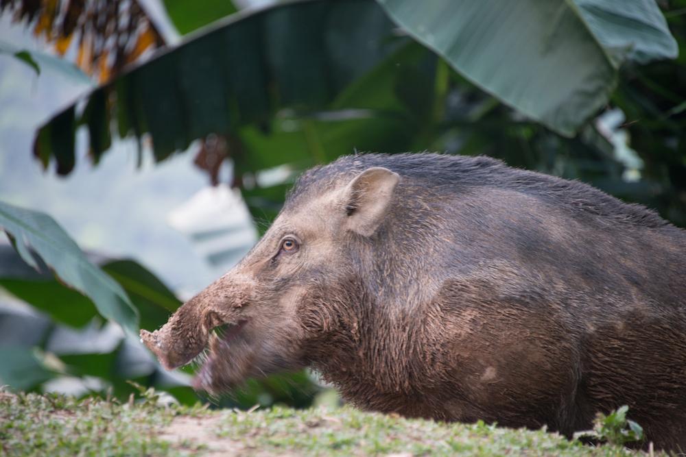 Wild Boar at Khao Sok National Park